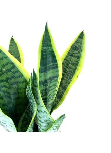 Çiçek Antalya Çiçek Antalya Mini Paşa Kılıcı Peygamber Kılıcı Sansevieria Bitkisi Yeşil